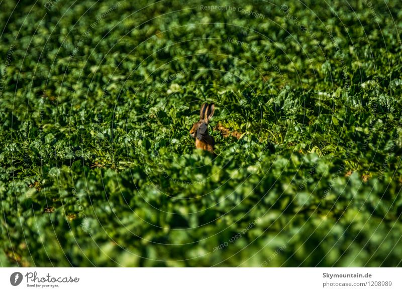 Hase im Feld gleich Feldhase Natur Pflanze grün Sommer Landschaft Tier Wald Umwelt gelb Wiese natürlich braun Zufriedenheit Wetter Feld wild