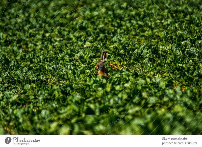 Hase im Feld gleich Feldhase Natur Pflanze grün Sommer Landschaft Tier Wald Umwelt gelb Wiese natürlich braun Zufriedenheit Wetter wild