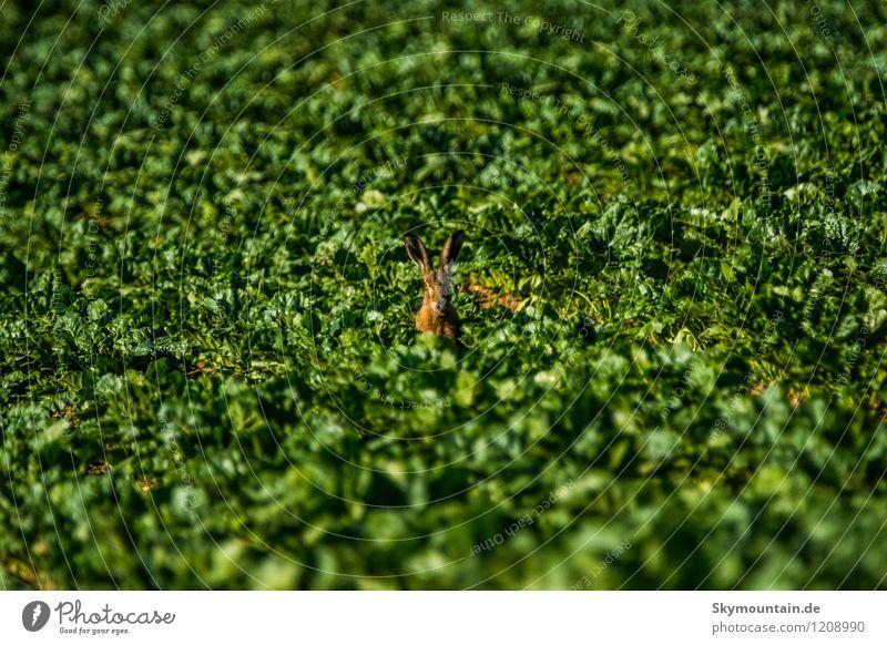 Hase im Feld 1 Umwelt Natur Landschaft Pflanze Tier Sonne Sonnenlicht Sommer Klima Schönes Wetter Blatt Nutzpflanze Wildtier Hase & Kaninchen Fressen genießen