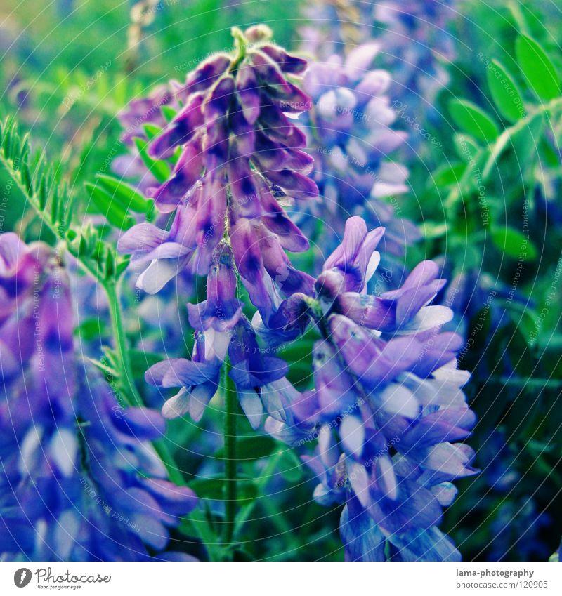 Unbekannte Pracht Blume Pflanze Wiese Blumenwiese Frühling Sommer Blüte Wachstum gedeihen sprießen Lavendel Lupine violett grün Blütenblatt Aquarell Erholung