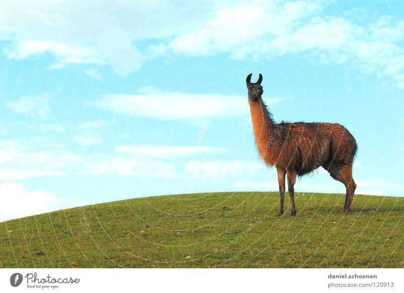 Lama und Hügel und schönes Wetter Himmel grün blau Wolken Gras Wetter Hintergrundbild Ohr Hügel hören Amerika Säugetier zyan Südamerika Tier Lama