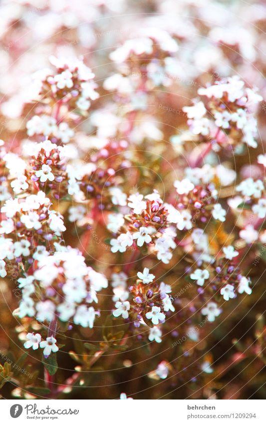 schön und lecker Natur Pflanze schön Sommer Blume Blatt Frühling Blüte Wiese klein Garten Park Blühend Schönes Wetter Kräuter & Gewürze Duft