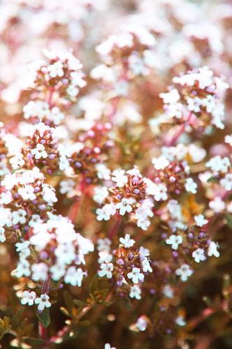 schön und lecker Natur Pflanze Sommer Blume Blatt Frühling Blüte Wiese klein Garten Park Blühend Schönes Wetter Kräuter & Gewürze Duft