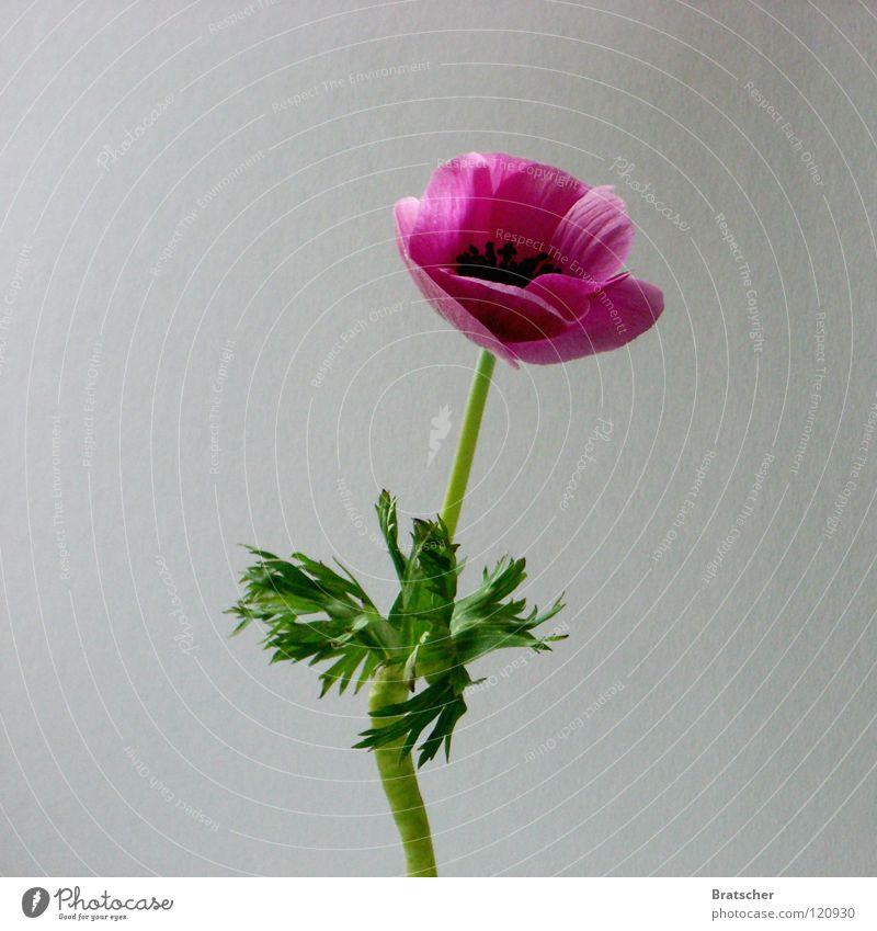 Zubehör. Blume Blüte Stil einfach Stillleben Klassik klassisch Anemonen