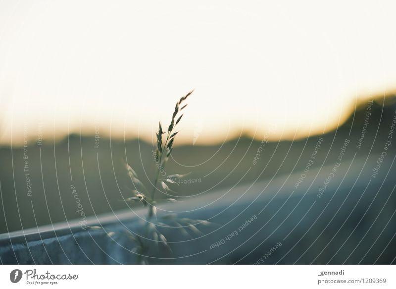 / Umwelt Natur Pflanze Urelemente Gras Zufriedenheit ruhig Weizen Getreide Ähren Wärme Geborgenheit Farbfoto Außenaufnahme Menschenleer Textfreiraum rechts