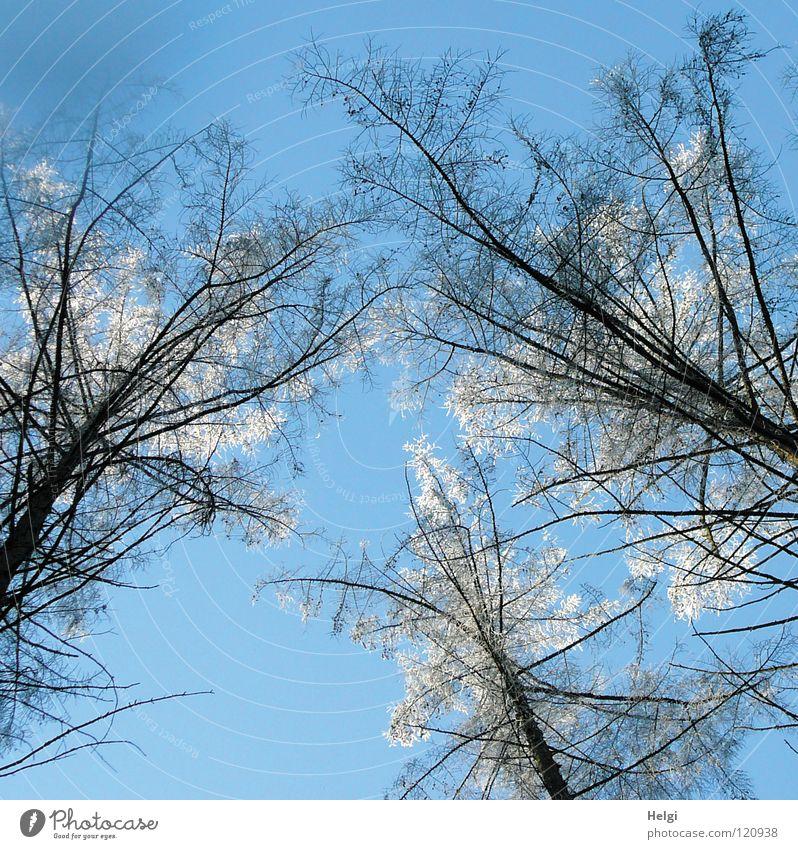 Winter-Wipfel... Natur Himmel Baum Pflanze Winter Wald kalt Schnee Eis groß hoch Wachstum Frost dünn Ast lang