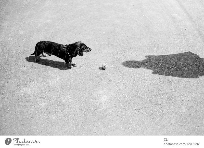 erwartungshaltung Freizeit & Hobby Spielen Mensch 1 Schönes Wetter Tier Haustier Hund Dackel Ball warten Neugier niedlich Freude Tierliebe geduldig