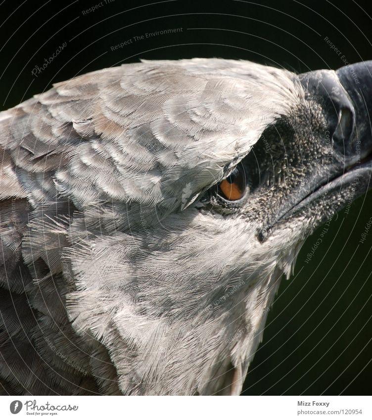 Blick in die Ferne Vogel Adler grau Tier Zoo Greifvogel Aggression Makroaufnahme Nahaufnahme Natur Sehschärfe Anmut Auge