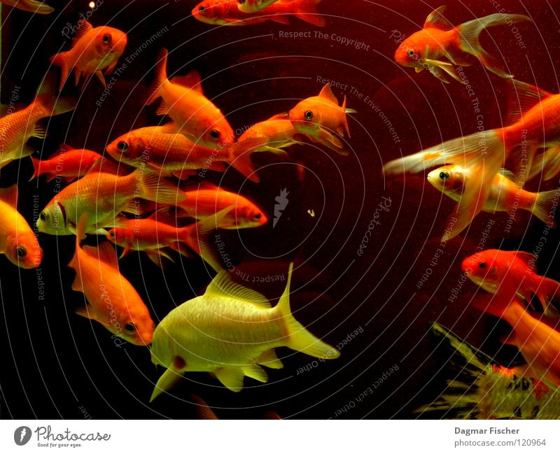 Es gibt Fisch, Baby! Wasser rot Meer Tier gelb Leben See Freundschaft Zusammensein orange nass gold Fisch mehrere Freizeit & Hobby Schwimmen & Baden