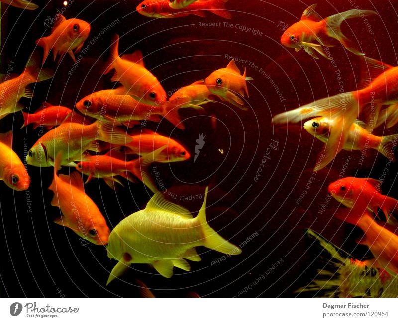 Es gibt Fisch, Baby! Wasser rot Meer Tier gelb Leben See Freundschaft Zusammensein orange nass gold mehrere Freizeit & Hobby Schwimmen & Baden
