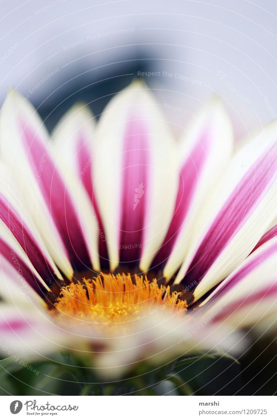 Mittagsgold Natur Pflanze Sommer Blume Blatt Blüte Grünpflanze Topfpflanze Stimmung Garten Blühend Gazanie schön Schwache Tiefenschärfe Blütenblatt Farbfoto