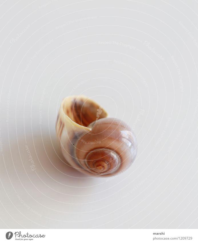 Singel-Appartement Natur Tier Schnecke 1 braun Schneckenhaus einzeln ausdruckslos Dekoration & Verzierung Farbfoto Gedeckte Farben Innenaufnahme Studioaufnahme