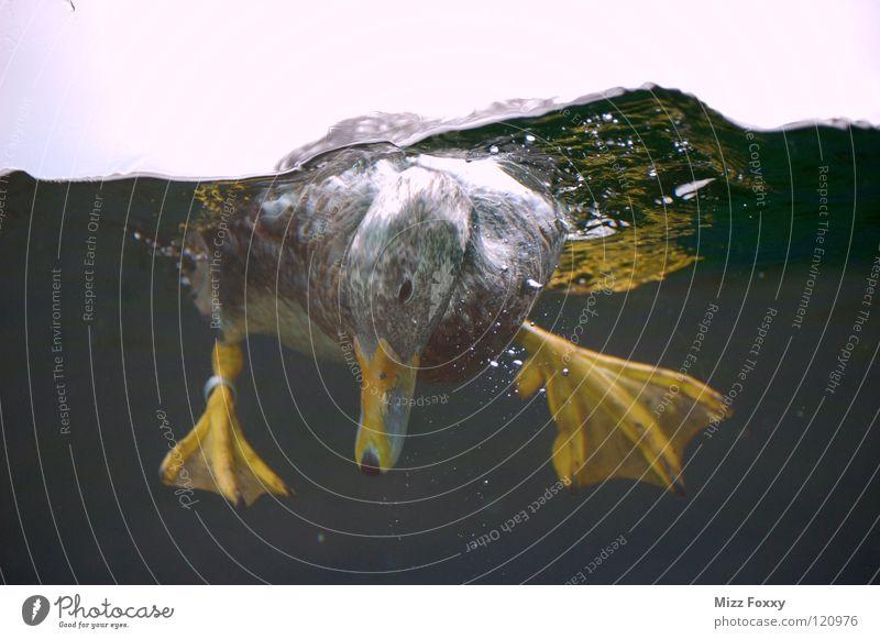 Durchblick tauchen Vogel Zoo Gans Luftblase Wasser Ente Bewegung Im Wasser treiben Schwimmen & Baden
