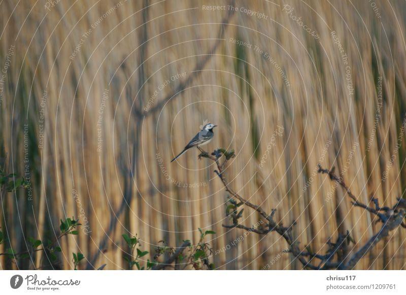 Die Ruhe genießen Natur Tier Frühling Vogel Wildtier beobachten Seeufer Teich Bachstelze