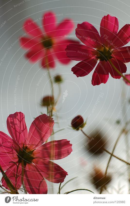 Cosmea Cosmos Himmel Pflanze gelb Wildtier arrangiert Schmuckkörbchen