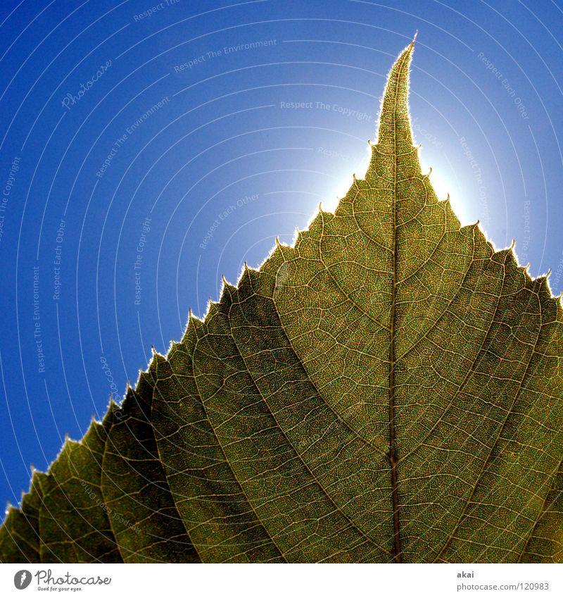 Das Blatt 26 Natur Himmel Baum Sonne grün blau Pflanze Blatt Leben Kraft Hintergrundbild Umwelt geschlossen Sträucher nah Ast