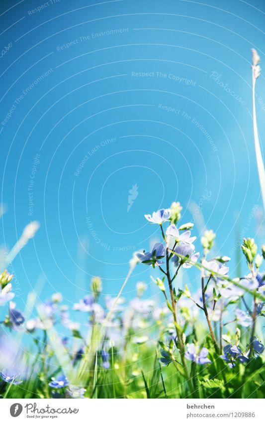 gepriesen sei die ehre Natur Pflanze Himmel Wolkenloser Himmel Frühling Sommer Herbst Schönes Wetter Blume Gras Blatt Blüte Veronica Garten Park Wiese Feld