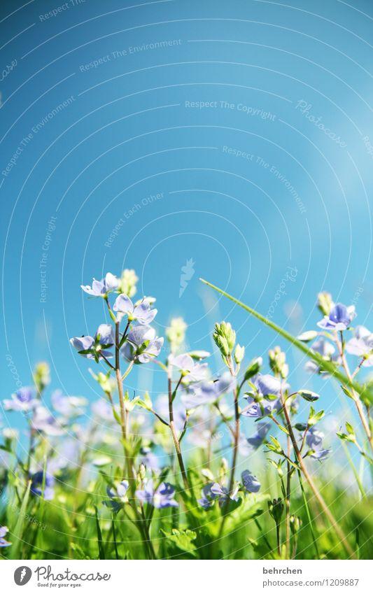irgendwann gibt's ihn wieder Himmel Natur Pflanze blau grün schön Sommer Blume Blatt Blüte Frühling Wiese Gras klein Garten Park