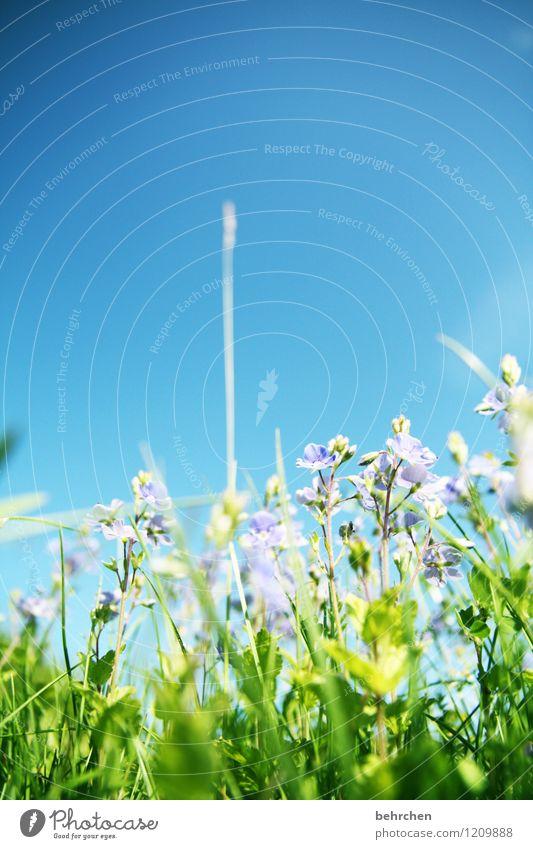 dem himmel entgegen Natur Pflanze Himmel Frühling Sommer Schönes Wetter Blume Gras Blatt Blüte Wildpflanze Veronica Garten Park Wiese Feld Blühend Duft verblüht