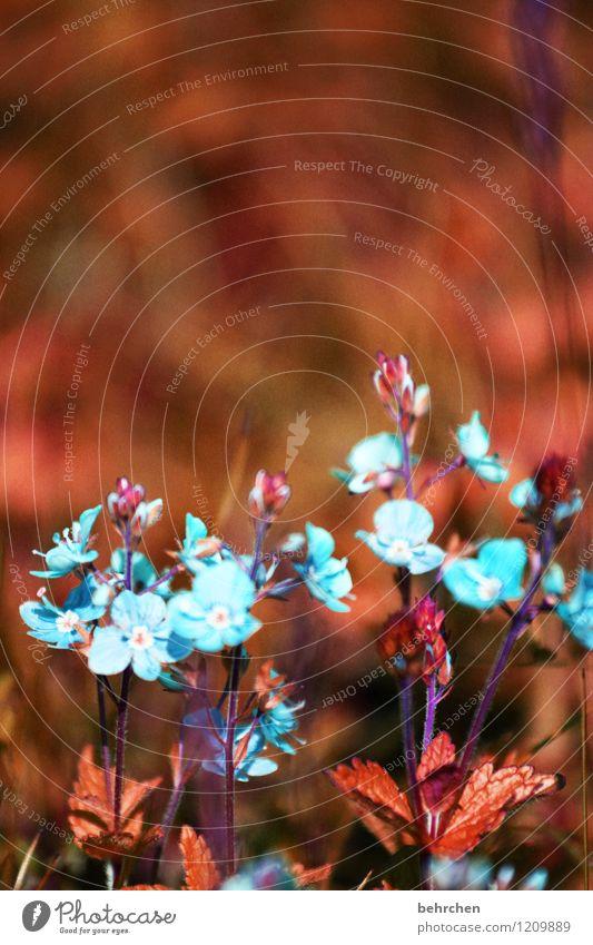 irgendwann im sommer... Natur Pflanze blau schön Sommer Blume Blatt Blüte Frühling Wiese Gras klein Garten braun Park Wachstum