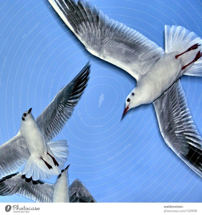 Möwen Himmel Meer Strand Vogel fliegen Luftverkehr Feder Flügel Tier Lachmöwe