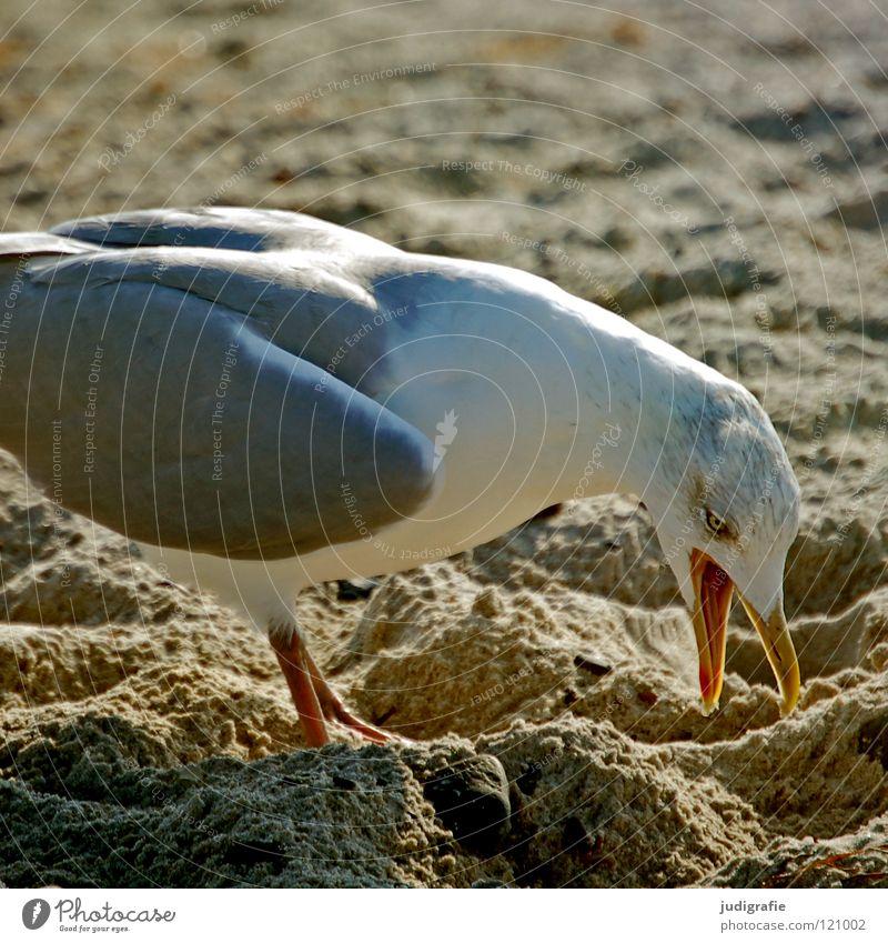 Ärgernis Möwe Silbermöwe Strand Vogel Schnabel Feder laut Tier Küste Meer See Farbe Sand Ostsee Konflikt & Streit Natur Leben