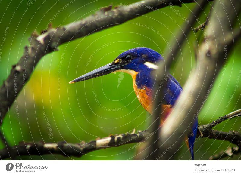 Long live the King(fisher)! Safari Expedition Ast Urwald Australien Tier Wildtier Vogel Eisvögel 1 sitzen exotisch natürlich schön ästhetisch einzigartig