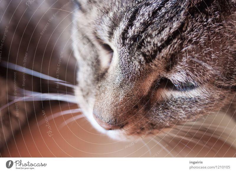 Grisu Katze weiß Erholung ruhig Tier schwarz grau braun Stimmung liegen Zufriedenheit schlafen Freundlichkeit nah Gelassenheit Fell
