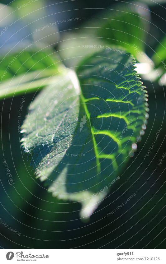 Strahlendes Blatt Natur Pflanze schön grün Sommer Wald Stimmung hell elegant