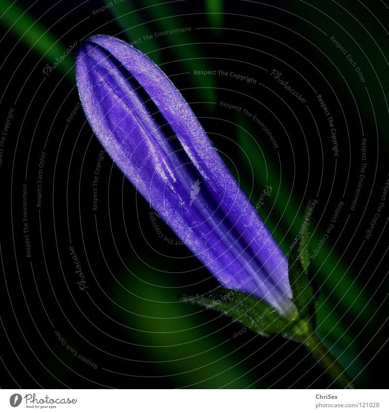 Knospe der Karpatenglockenblume violett grün schwarz Blüte Blütenblatt Frühling Wachstum aufwachen Sommer Stauden Pflanze Blume Beet Nordwalde Makroaufnahme