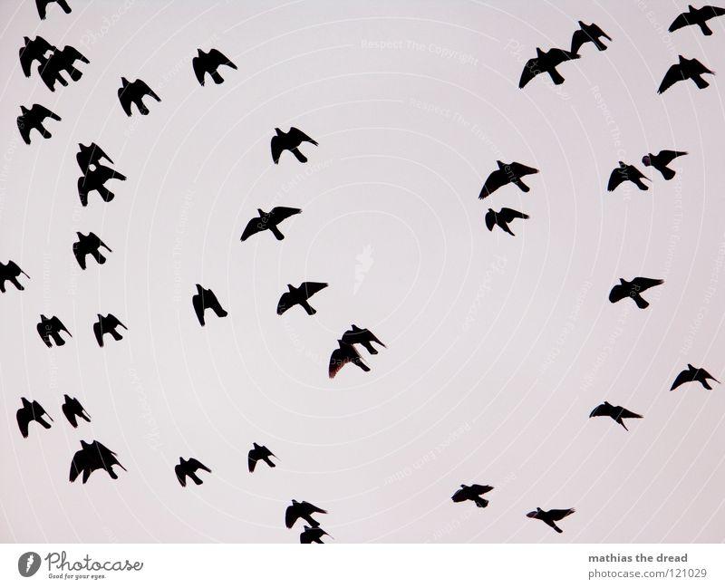 FLIEGEN MUSS SCHÖN SEIN Himmel Natur schön Tier Wolken schwarz Bewegung grau Luft Vogel Hintergrundbild Wetter Angst fliegen mehrere frei
