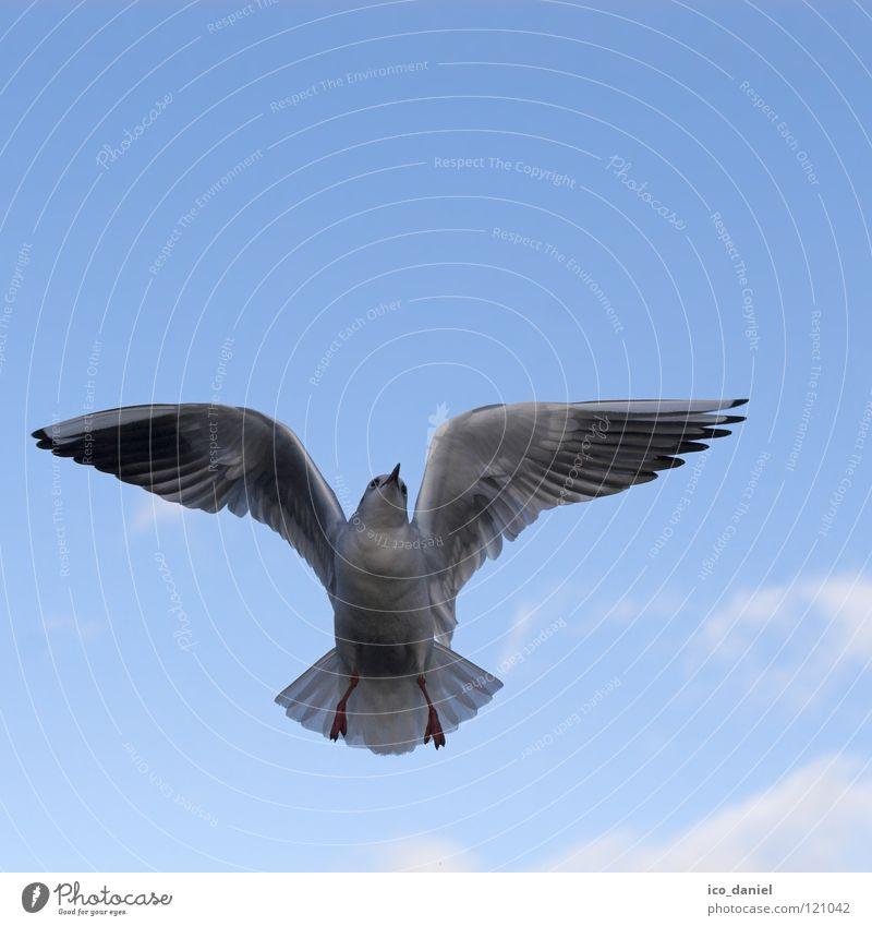 flugtier Möwe weiß Isar Meer Luft Wolken Spannweite Vogel Tier gleiten Gleitflug Schnabel lautstark fliegen Himmel frei Flügel blau wasservogel Fluss