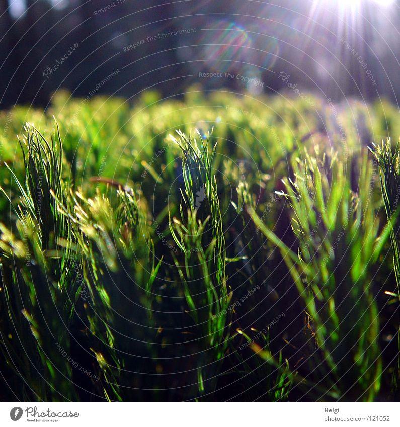 ohne Moos nix los.... Waldboden Pflanze Wachstum klein grün hellgrün dunkelgrün Baum Sonne Beleuchtung erleuchten Licht Gegenlicht Vergänglichkeit Makroaufnahme