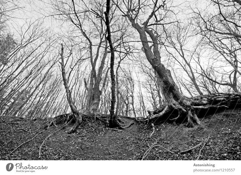der alte Wald Umwelt Natur Landschaft Himmel Frühling Pflanze Baum Sand Holz stehen hoch grau schwarz weiß Baumstamm verzweigt Wurzel Waldboden Baumrinde