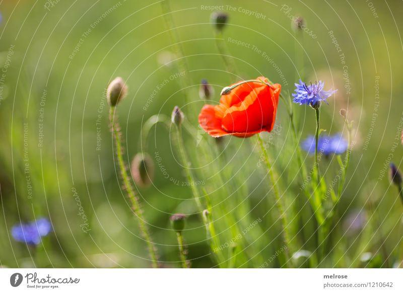 Mohn und Kornblume elegant Stil Natur Pflanze Sommer Schönes Wetter Blume Blüte Wildpflanze Mohnblumen Klatschmohn Blütenblatt Blütenknospen Wiese Rauschmittel