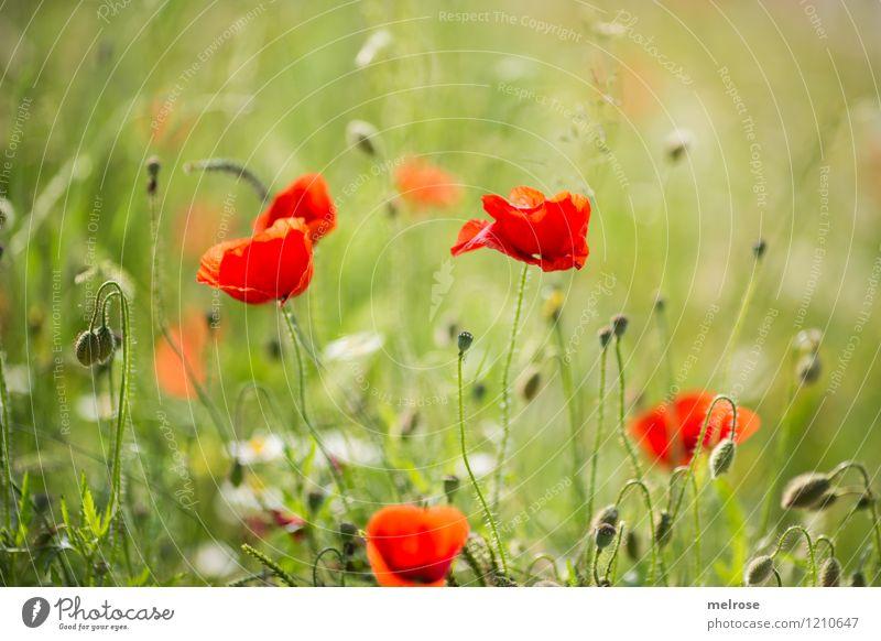 Mohnfarbkleckse Natur Pflanze grün schön Sommer Blume Erholung rot Wiese Stil Lebensmittel träumen Design Feld elegant Blühend