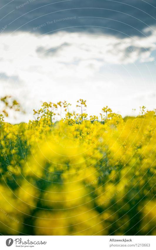 Frühlingskitsch Landschaft Pflanze Wolken Sonnenaufgang Sonnenuntergang Raps Rapsfeld Feld verrückt gelb Farbe Frieden Horizont Kitsch Farbfoto Außenaufnahme