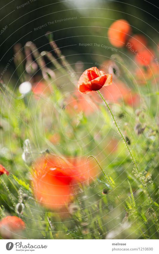 Dienstags-MOHN Natur Pflanze schön grün Sommer Erholung Blume rot schwarz Blüte Stil Garten leuchten elegant stehen genießen