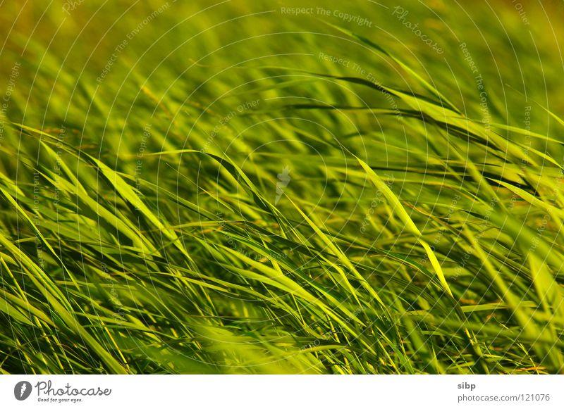 Schilf Natur grün Pflanze Sommer Bewegung Deutschland Wind Schilfrohr Nordsee Abendsonne
