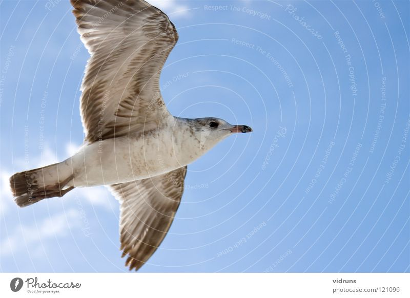 flying seagull Himmel sky bird beech maples wings siring clouds