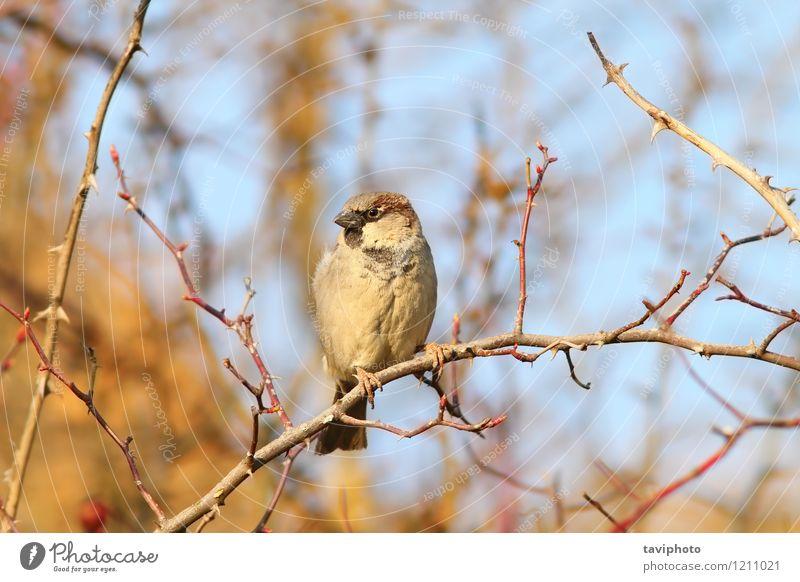 männlicher Haussperling auf Zweig Mann Erwachsene Umwelt Natur Tier Baum Vogel beobachten sitzen hell klein niedlich wild braun Spatz domesticus Vorübergehender