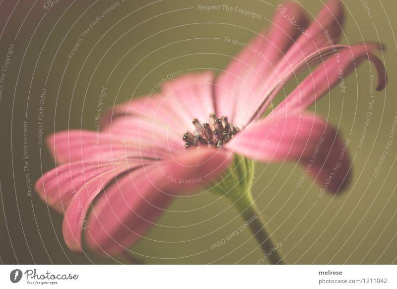 Blümsche elegant Stil Design Sommer Schönes Wetter Blume Blatt Blüte Topfpflanze Gartenblume Einzelgänger Blühend Erholung genießen träumen außergewöhnlich