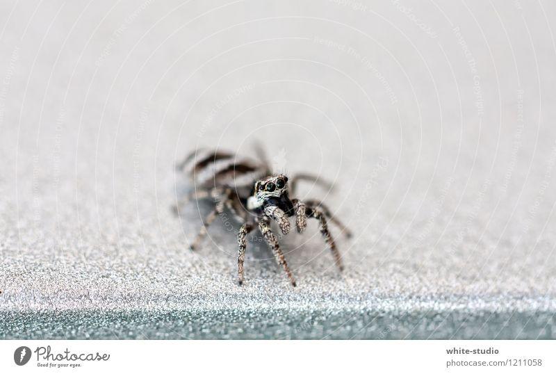 Ready for Takeoff... Spinne 1 Tier Aggression sportlich bedrohlich dunkel Ekel gruselig klein nah Neugier rebellisch Wut grau gefährlich Angst Spinnenbeine