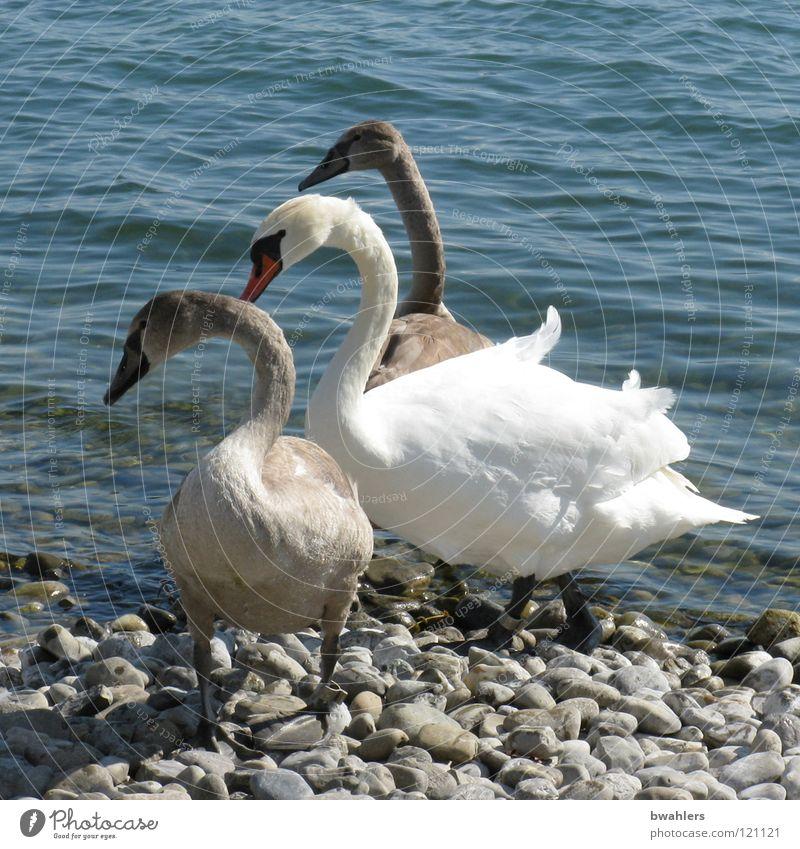 Familienausflug Schwan Vogel See weiß grau Wellen Strand schön stehen Richtung Wasser Bodensee Stein blau Wetter Blick