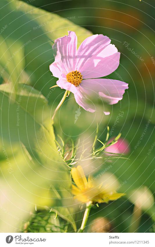 Sommer im Garten II Natur Pflanze grün schön Blume Blüte rosa Idylle Blühend sommerlich Wildpflanze lichtvoll Sommerblumen Lichtstimmung