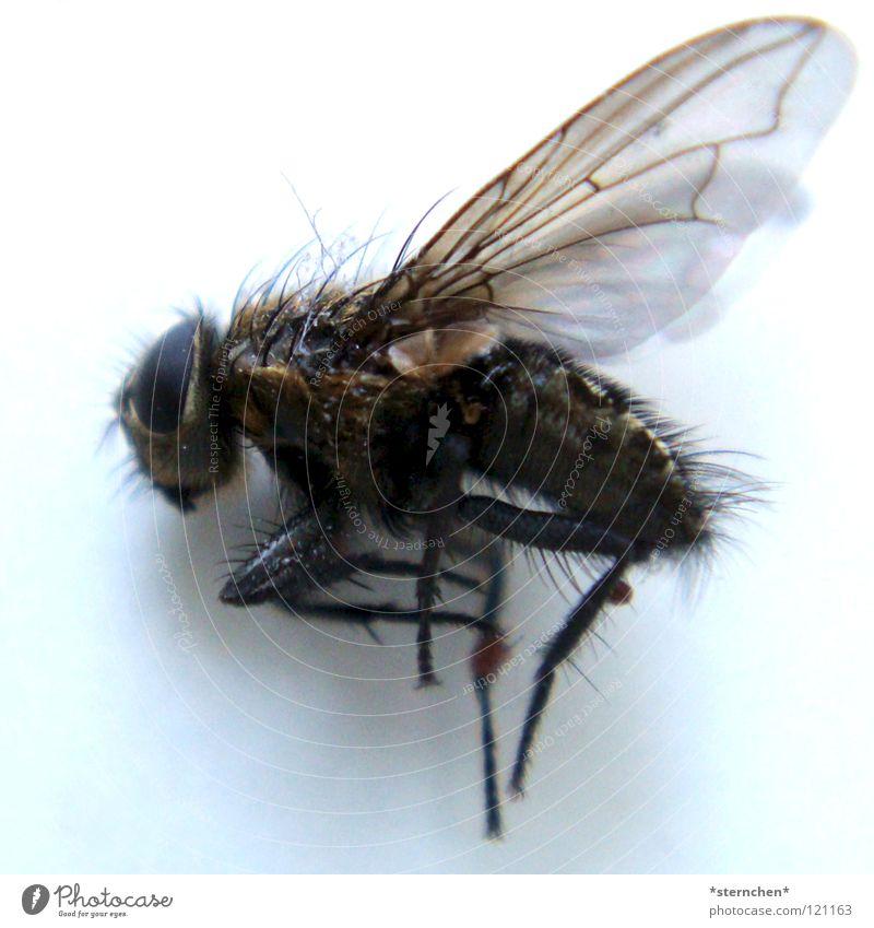 end of life Sechsfüßer Insekt Fluginsekt Zweiflügler schwarz weiß dunkel Fliege Brachycera Neuflügler Tod nicht lebendig Haare & Frisuren Flügel Beine hell