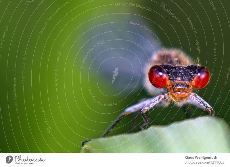 """""""Bindehautentzündung"""" Umwelt Natur Tier Frühling Sommer Pflanze Gras Blatt Wiese Feld Wald Moor Sumpf Teich Wildtier Tiergesicht Libelle Kleines Granatauge 1"""