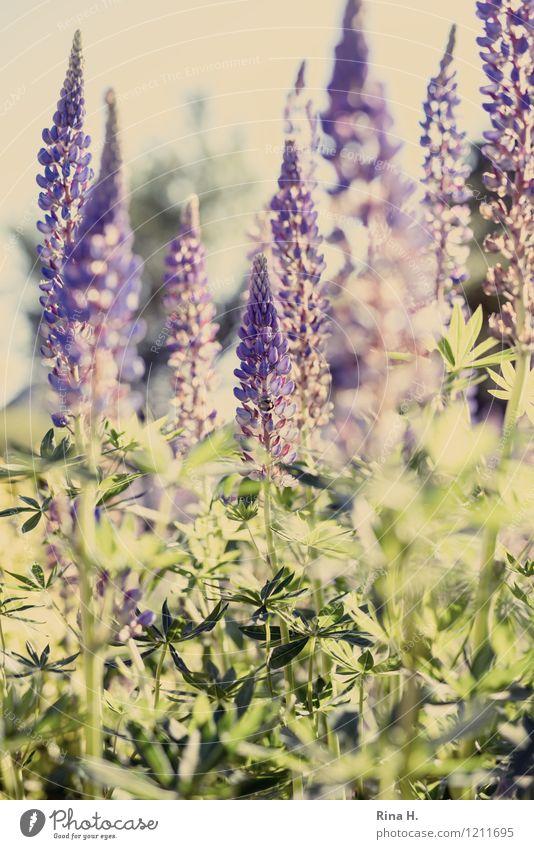Lupinen Garten Natur Pflanze Sommer Schönes Wetter Blume Blühend natürlich Lupinenblüte Romantik Farbfoto Menschenleer Schwache Tiefenschärfe
