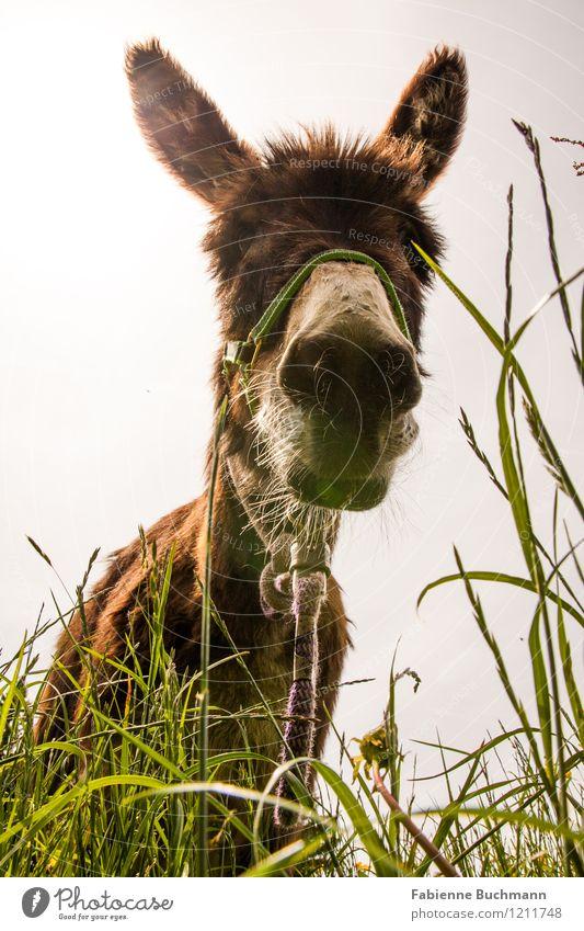Wer ist hier stur? Natur Wolkenloser Himmel Sommer Schönes Wetter Blume Gras Wiese Feld Behaarung Tier Tiergesicht Fell 1 stehen Coolness frei weich braun gelb