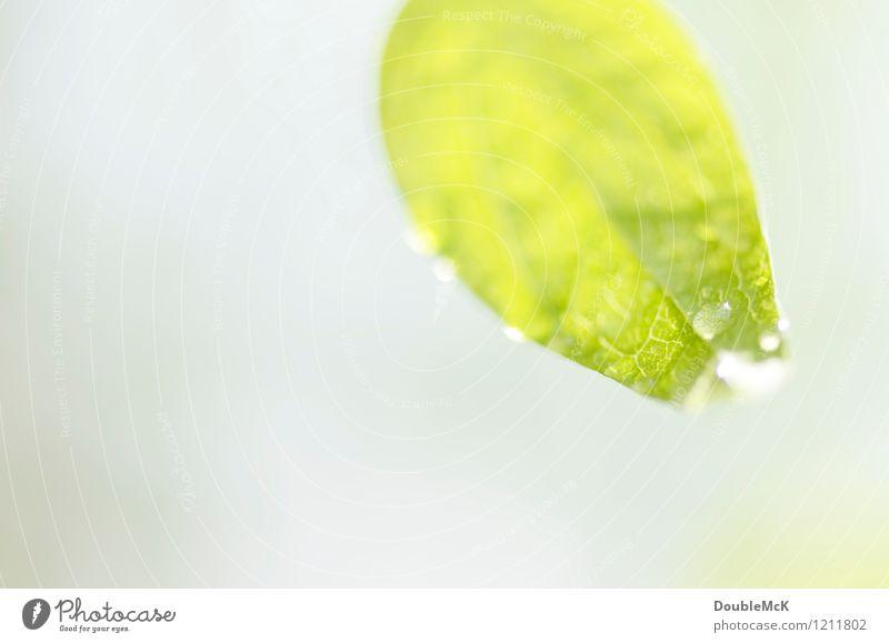 Tropfen, tropf! Natur Pflanze grün Wasser weiß Blatt ruhig Umwelt Leben natürlich grau hell leuchten frisch Wassertropfen Blühend
